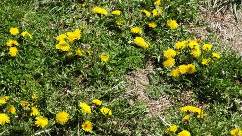Invasion of the Healthy Dandelions