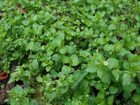Chickweed - the Little Star Lady
